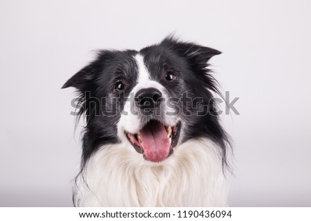 adorable portrait of amazing healthy and happy adult black and white border collie in the photo studio on the white background  #1190436094
