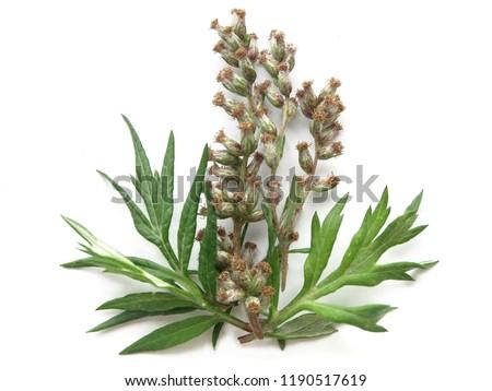 Mugwort (Artemisia vulgaris)  #1190517619