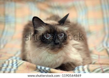 a beautiful Neva Masquerade cat. It is a subspecies of the Siberian cat. #1190564869