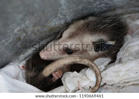 Possum curled up in a trash can