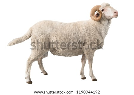 white ram isolated on white background #1190944192