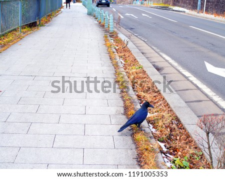 Big Japanese black crow bird standing on grey stone tile sidewalk, beside asphalt vertical road, with yellow brown fallen leaves and melting small snow chunks on drainage, perspective background #1191005353