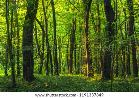 Sun beams through thick  trees branches in dense green forest #1191337849