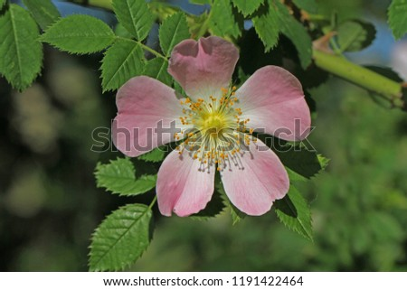 Dog rose or wild rose in bloom in springtime in Italy Latin rosa canina and similar to a sweet briar also called eglantine state flower or state symbol of Iowa and North Dakota #1191422464