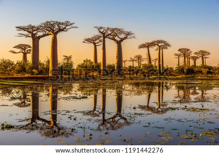 Beautiful Baobab trees at sunset at the avenue of the baobabs in Madagascar Royalty-Free Stock Photo #1191442276