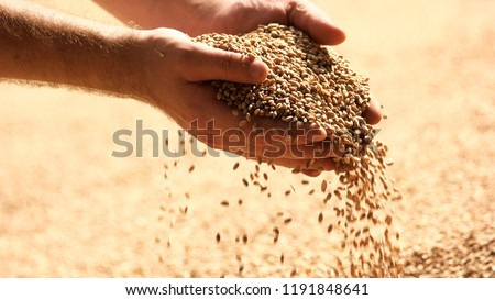 Wheat grains in hands at mill storage. Close up. Good harvest in the hands of farmers, big pile of grain. Royalty-Free Stock Photo #1191848641