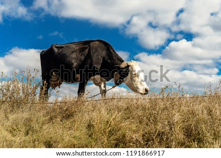 cow in the fall on a yellow wheat field #1191866917
