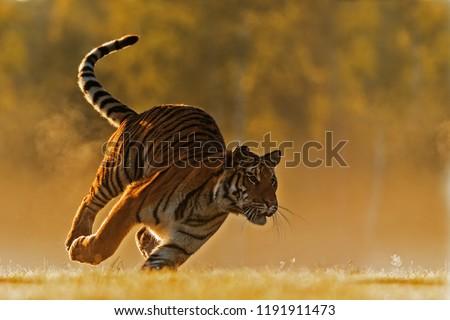 Siberian tiger (Panthera tigris tigris) shot in a very fast run #1191911473