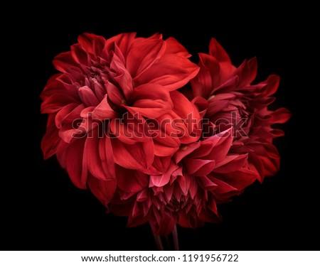 flowers red dahlia, buds close-up. Black background. #1191956722
