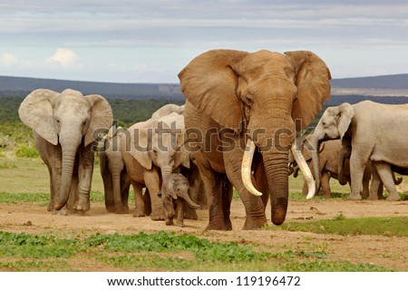 An elephant herd, led by a Magnificent 'Tusker' bull at a waterhole in the Addo Elephant National Park. #119196472