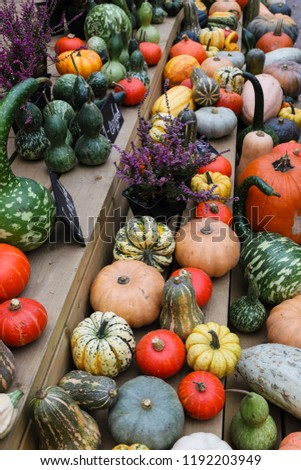 Different shape, size and color pumpkin wooden display on the harvest festival. Concept of Halloween, autumn symbol, pumpkins for decoration, unusual vegetable competition, vitamin and healthy eating #1192203949