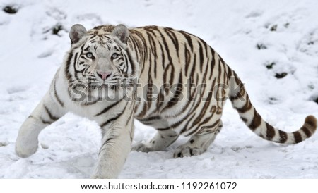 Great tiger in the nature habitat, Bengal Tiger in forest, Beautiful portrait, animal in wild winter nature, white tiger, Wildlife with danger animal, Portrait of beautiful Siberian #1192261072