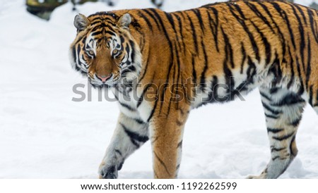 Great tiger in the nature habitat, Bengal Tiger in forest, Beautiful portrait, animal in wild winter nature, white tiger, Wildlife with danger animal, Portrait of beautiful Siberian #1192262599