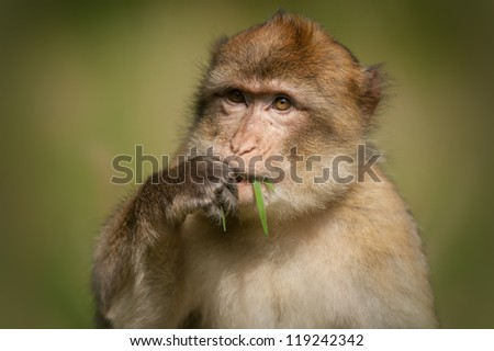 A young adult male Barbary Macaque monkey. The macaque is sitting in sunlight and using its hand to put grass into its mouth. #119242342