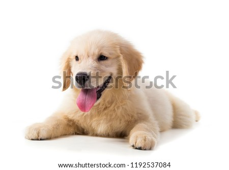 Cute Golden Retriever Puppy isolate on white background. #1192537084