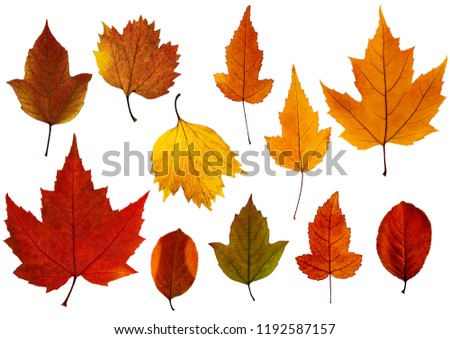 Set of fall leaves isolated on the white background. Autumn decor.
