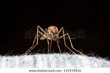 Macro picture of a mosquito on jeans at black background.