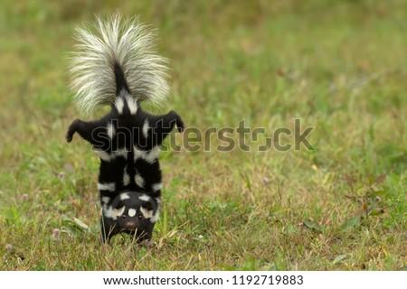 Eastern spotted skunk handstand Agnieszka Bacal. #1192719883