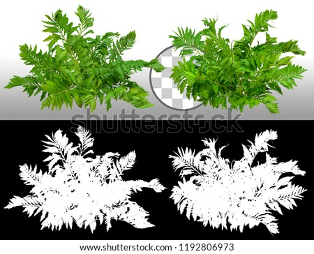 Leafs of braken fern plant isolated on a transparent background via an alpha channel of great precision. High quality mask without unwanted edge. Very high resolution for professional composition. #1192806973