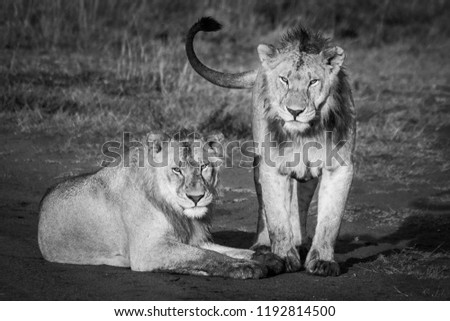 Two lions stare down the photographer #1192814500