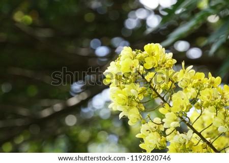 Senna spectabilis flowers or Cassia excelsa, Cassia fastigiata #1192820746