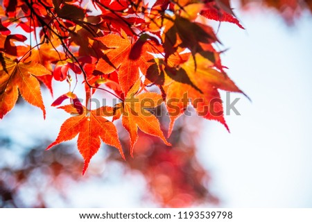 Maple leaf in autumn #1193539798