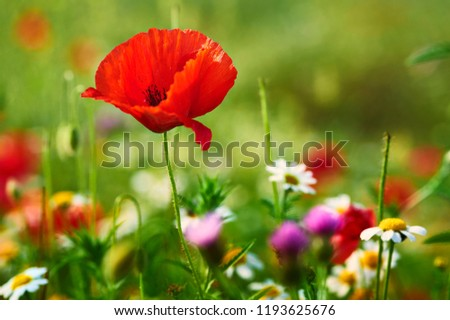 Poppies in spring #1193625676