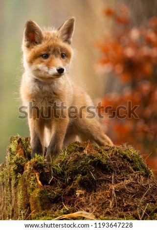 Wild fox in the autumn forest #1193647228