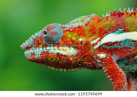 Beautiful colof of chameleon panther on branch, animal closeup #1193749699