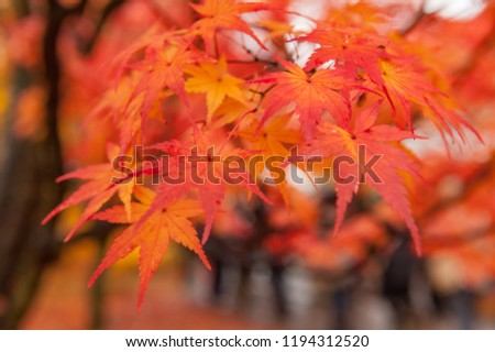 Japanese Garden ,Colorful autumn in Kyoto, Japan #1194312520