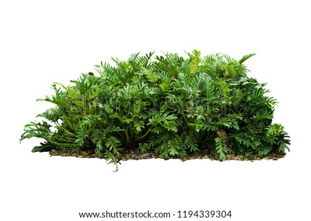 Philodendron xanadu Tropical nature plant isolated backdrop include clipping path on white background.closeup spring botanic decoration floral rain forest plant. Royalty-Free Stock Photo #1194339304