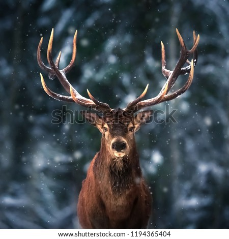 Noble deer male in winter snow forest. Square image.