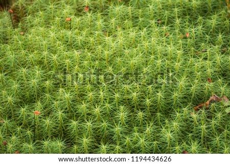 Green moss in the Karelian forest. Nature of the Karelian isthmus.  #1194434626