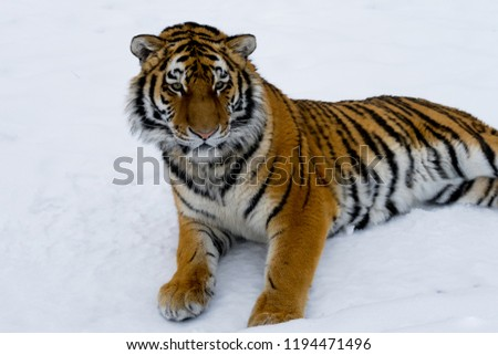 Beautiful wild cat lying on the snow and watching the prey. Wildlife. #1194471496