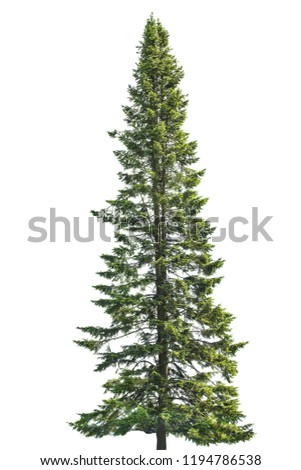 single fir isolated on white background #1194786538