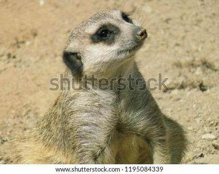 Close up of a meerkat or suricate, Suricata suricatta, portrait of a mongoose   #1195084339