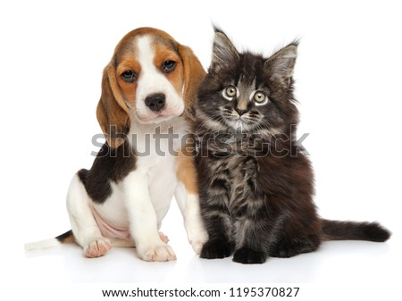 Beagle puppy and Maine-coon kitten on white background. Baby animal theme #1195370827