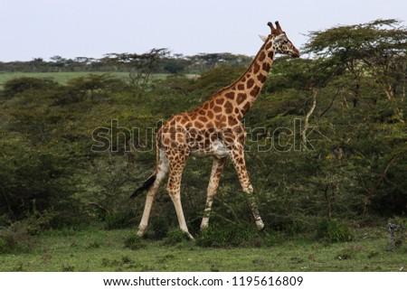 beautiful young giraffe walking into the wild savannah #1195616809