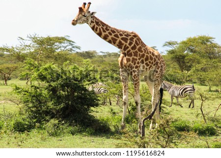 beautiful giraffe eating into the wild savannah #1195616824