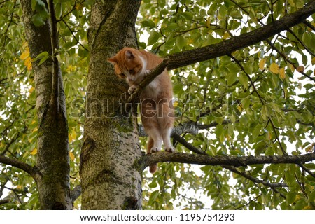 The cat is standing on a tree and looking down. Ginger kitten was chased up a tree. A cat can't come down from a tall tree. #1195754293