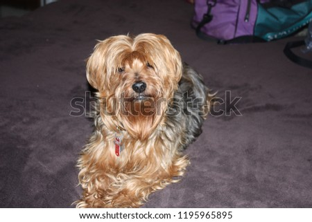 Yorkie posing for picture red w/black back