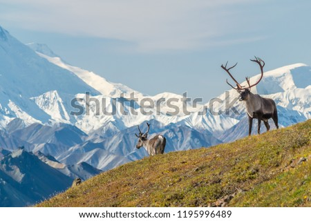 Majestic caribou bull in front of the mount Denali, ( mount Mckinley), Alaskal #1195996489