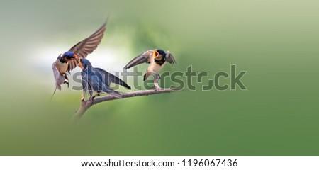 Beautiful Barn Swallow #1196067436