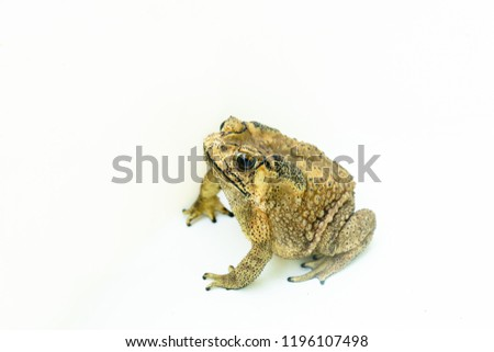 Common toad cockroach predator isolated on white background. #1196107498