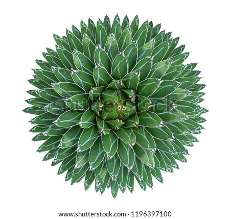 Agave victoriae-reginae (Queen Victoria agave) succulent cactus flower perennial plant top view isolated on white background, clipping path included #1196397100