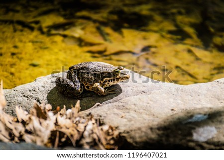 Bullfrog resting on top of a rock by the waterside under the bright sun of beautiful spring in natural environment of Marmara region of the country Turkey #1196407021