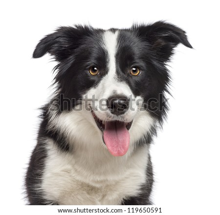 Close-up of Border Collie, 1.5 years old, looking at camera against white background #119650591