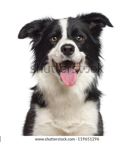 Close-up of Border Collie, 1.5 years old, looking at camera against white background #119651296