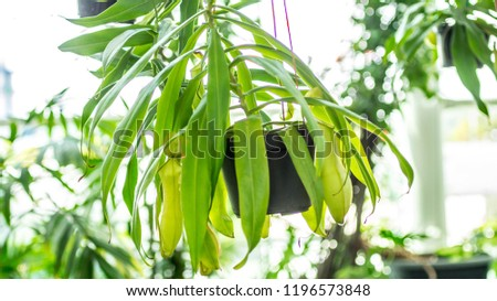 Nepenthes sp.,tropical exotic carnivorous plant used as indoor decoration garden #1196573848