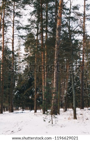 Russian pjne forest during winter.  #1196629021